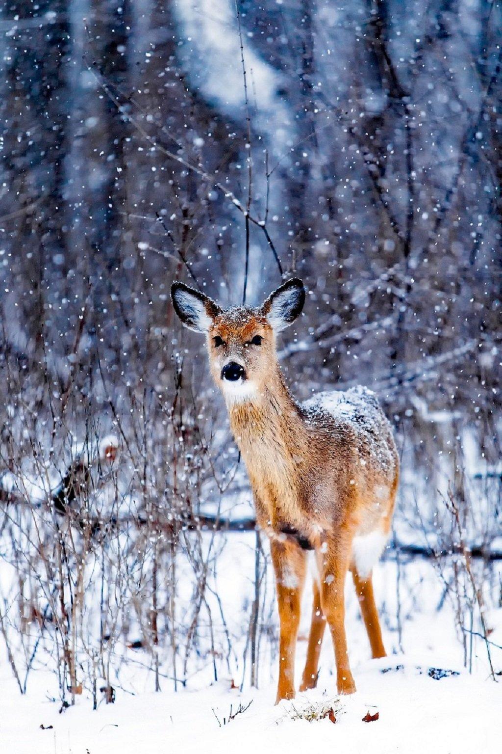 deer in snow winter
